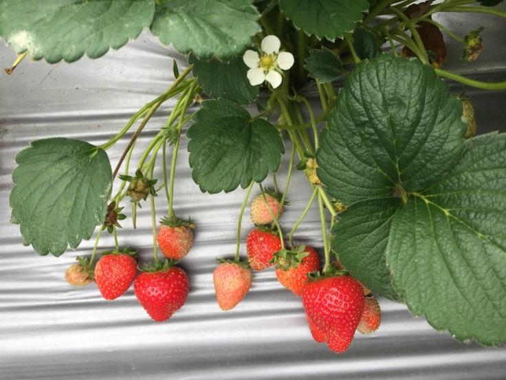 鮮甜的草莓